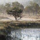 10.6.2017: Pine Tree at Marsh by Petri Volanen