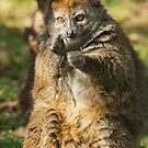 Alaotran Gentle Lemur by Dominika Aniola