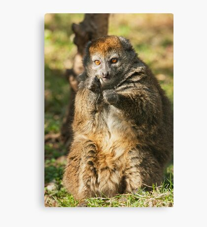 Alaotran Gentle Lemur Canvas Print