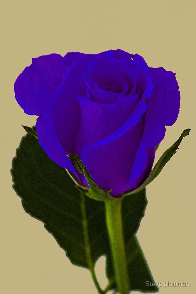 Roses are Purple!!! by Steve plowman