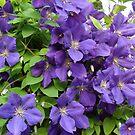 Purple clematis by Ana Belaj