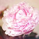 Peony Rose by Kasia-D