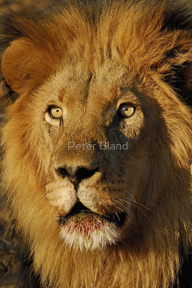 African Lion by Peter Bland