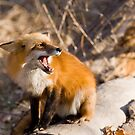 Fox Defending Meal by Jay Ryser