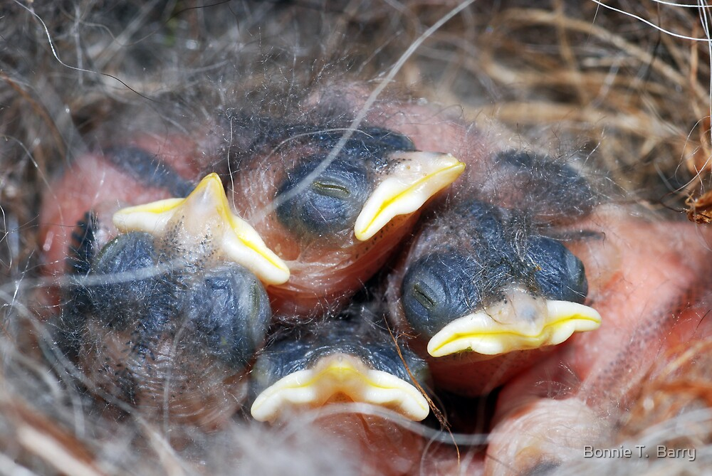 Newly-hatched chickadees by Bonnie T.  Barry