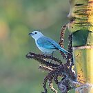 Blue-gray Tanager Tropical by hummingbirds