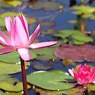 Pink Water Lily by Henrik Lehnerer