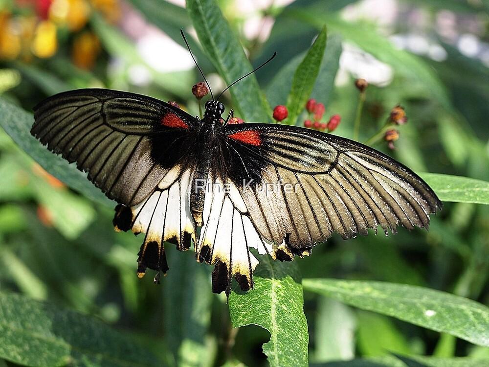 Butterfly by Rina  Kupfer