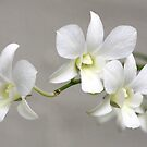 White Orchid by Shelley Heath