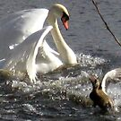 52 - ANGRY SWAN AT MORPETH - 02 (D.E. 2008) by BLYTHPHOTO