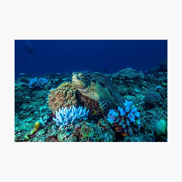 Sea Turtle on the Great Barrier Reef Photographic Print