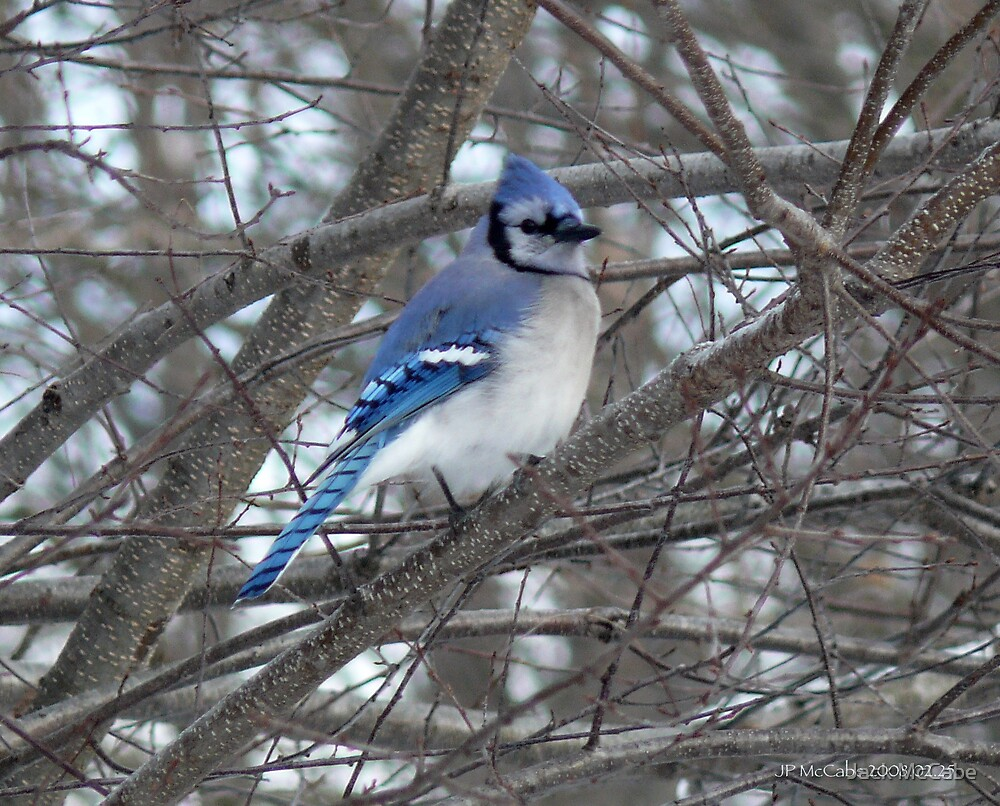 Blue Jay Resting by Jack McCabe