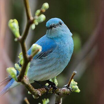 Bluebird Portrait #1 by mcvette