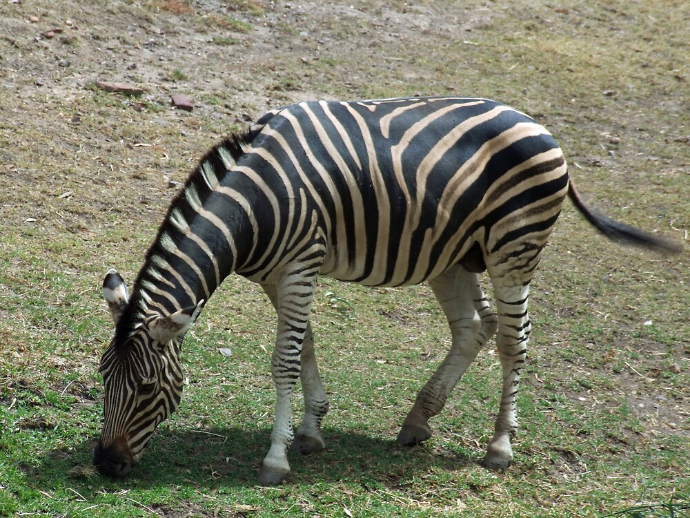 Zebra by AnnM