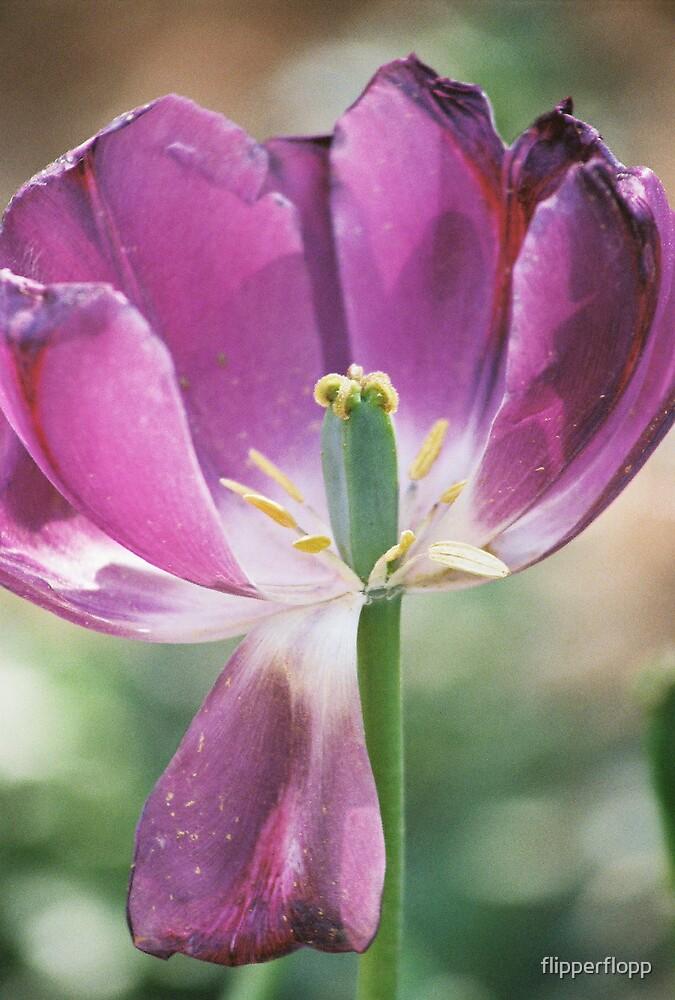 pretty purple tulip by flipperflopp
