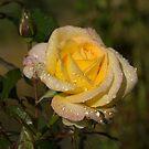 Golden Yellow Sparkles - a Fresh Rose With Dewdrops by Georgia Mizuleva