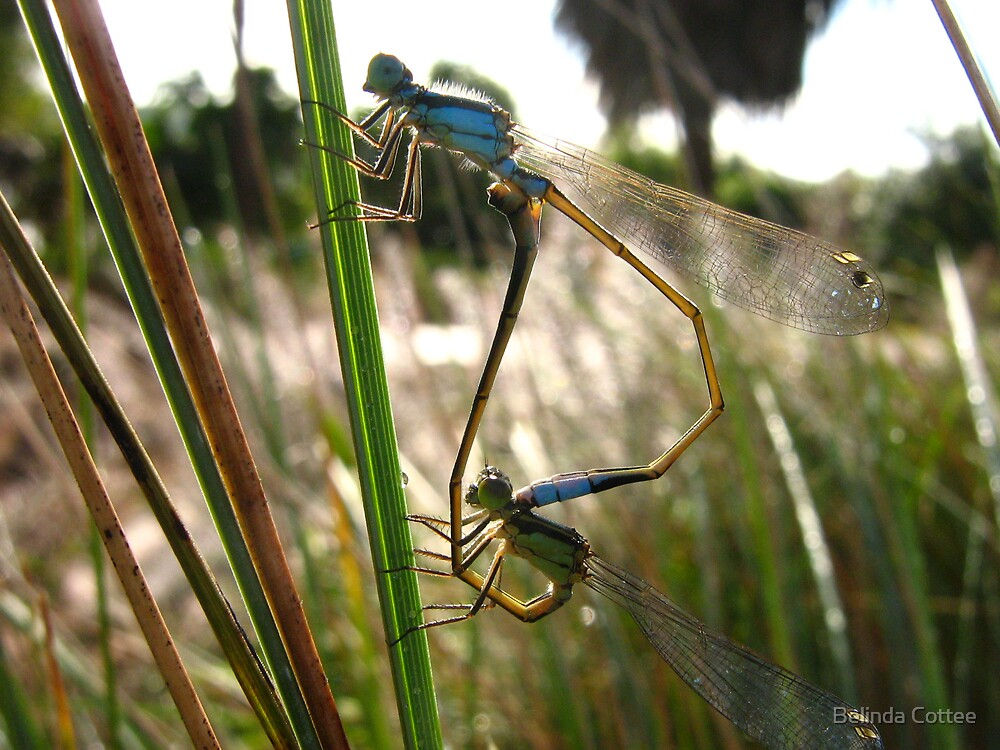 bluetails mating by Belinda Cottee