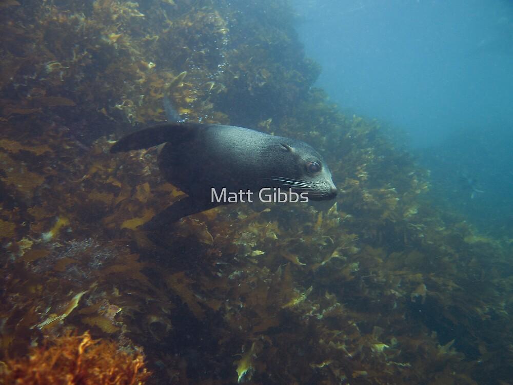 Curious Fur Seal by Matt Gibbs