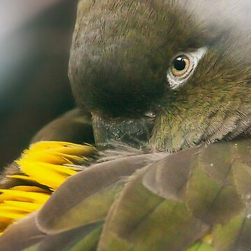 Burrowing Parrot by domcia