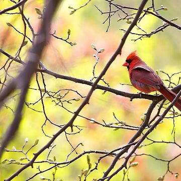 Cardinal Official by EugeJ