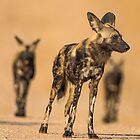 Cape Hunting Wild Dogs on the Hunt by Richard Shakenovsky