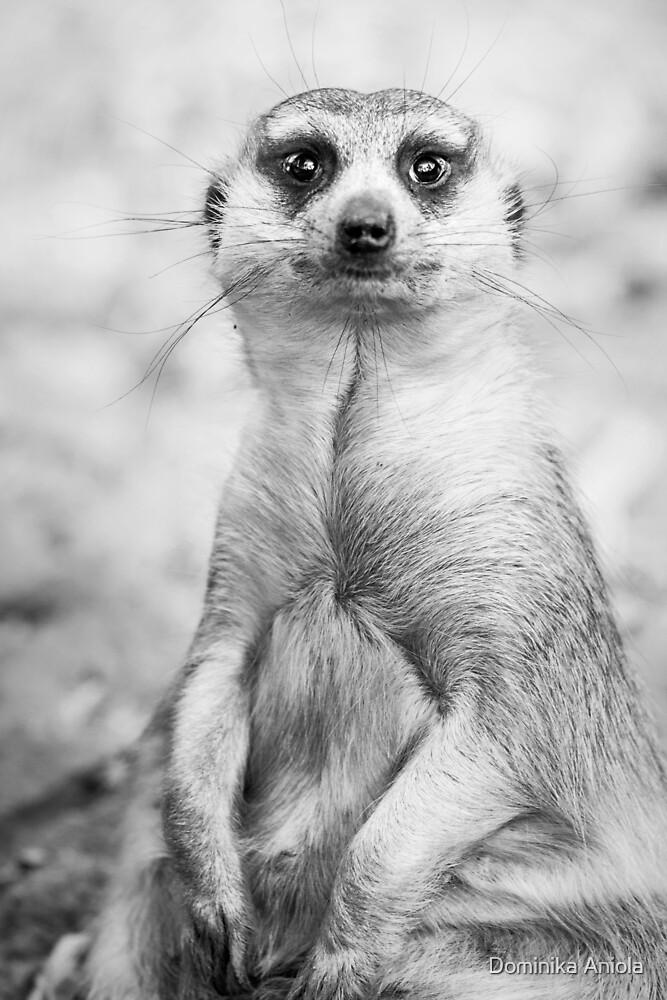 Meerkat portrait by Dominika Aniola