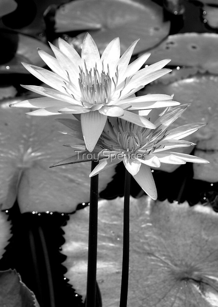 vibrant lily, black and white by Troy Spencer