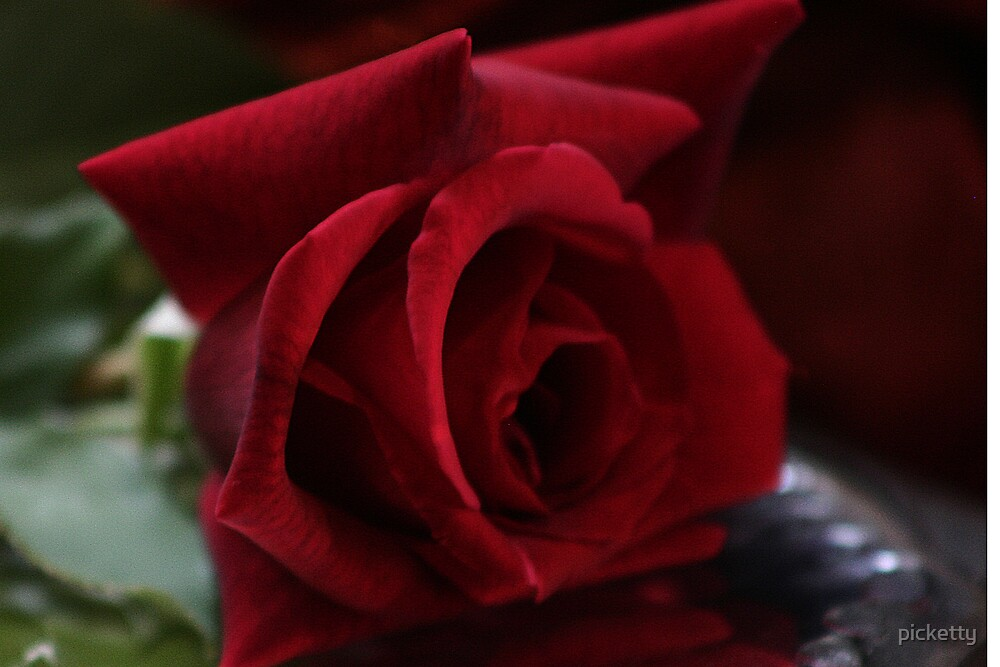 rosa rubra by picketty