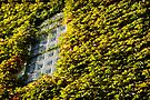 great wall of ivy by Anthony Mancuso