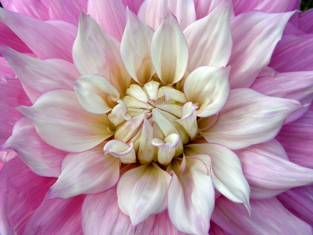 Pink dahlia by jay12