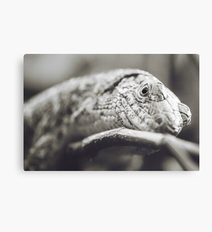 Southeastern Girdled Lizard Canvas Print