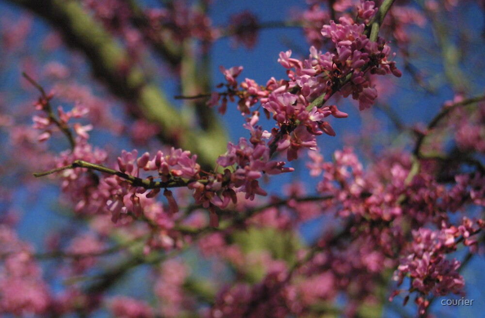 Redbud by courier