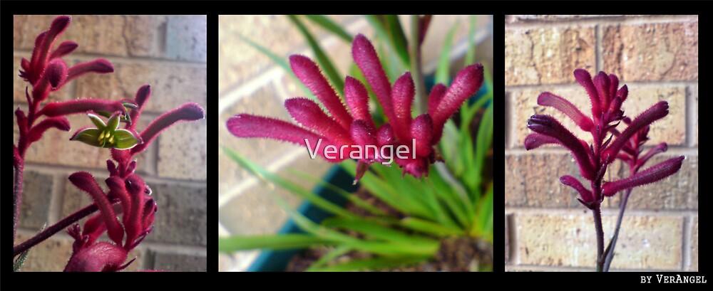 Kangaroo Paw Trio by Verangel