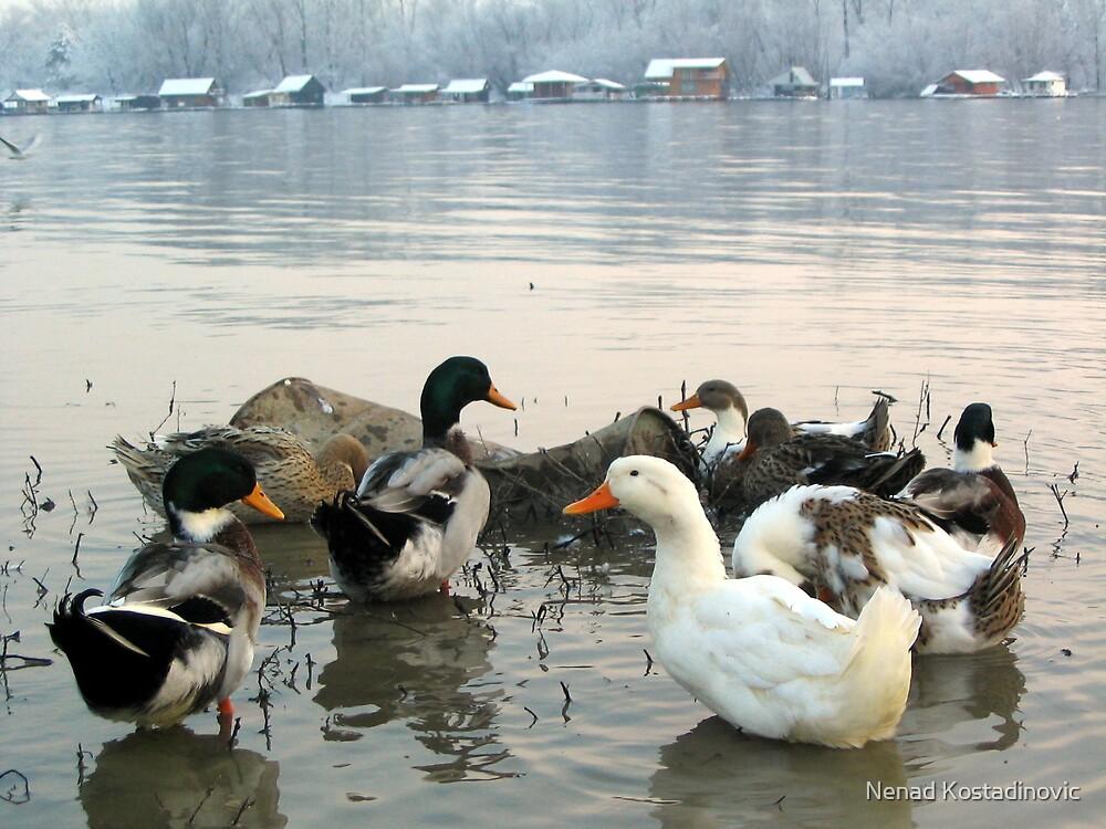Ducks by Nenad Kostadinovic