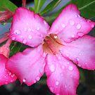 Pink Desert Rose by Michael Morris