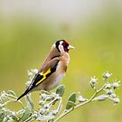 Goldfinch  by M S Photography/Art