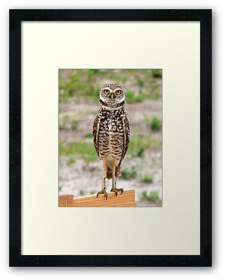 Baby Burrowing Owl     by Rosalie Scanlon