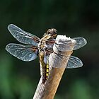 The Broad-bodied Chaser by cuprum