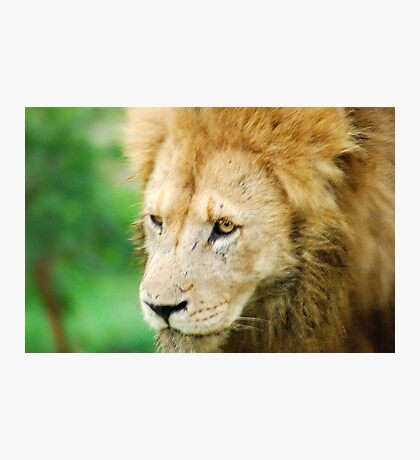 "THE LION - 'Panthera leo"" Photographic Print"