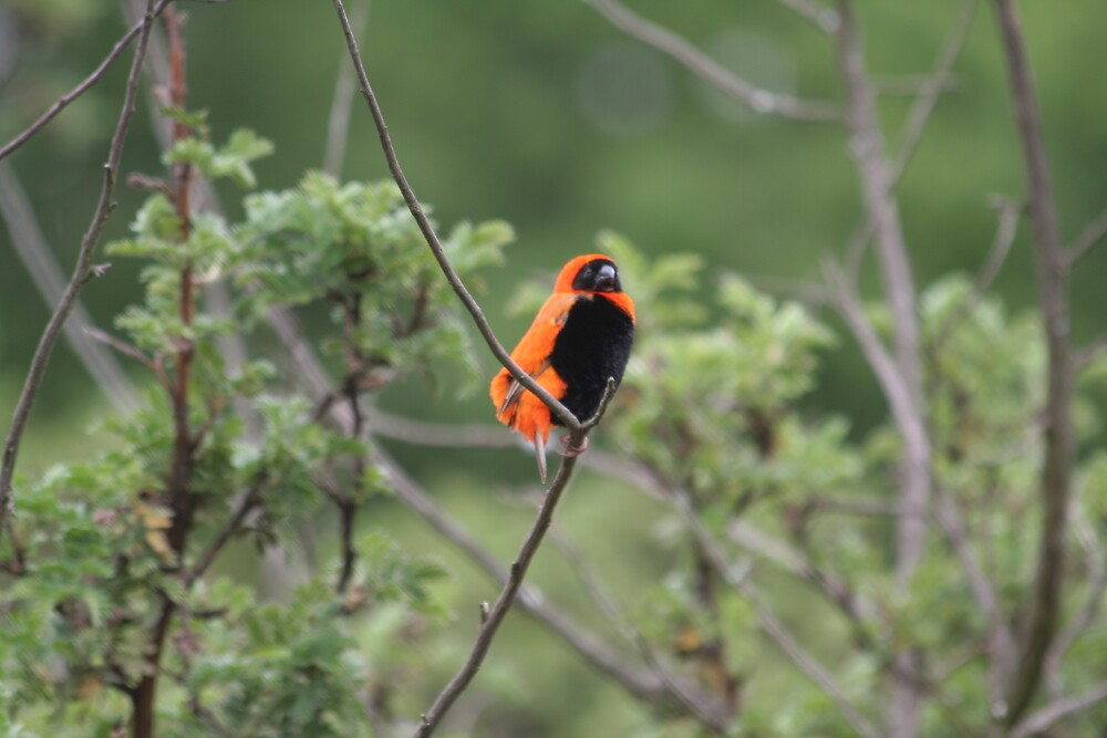 Red Bishop  by Paul Lindenberg