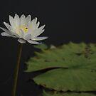 wild waterlily by Fiona Smith