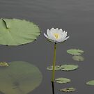 waterlily by Fiona Smith