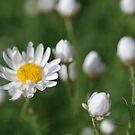Paper daisy by Fiona Smith