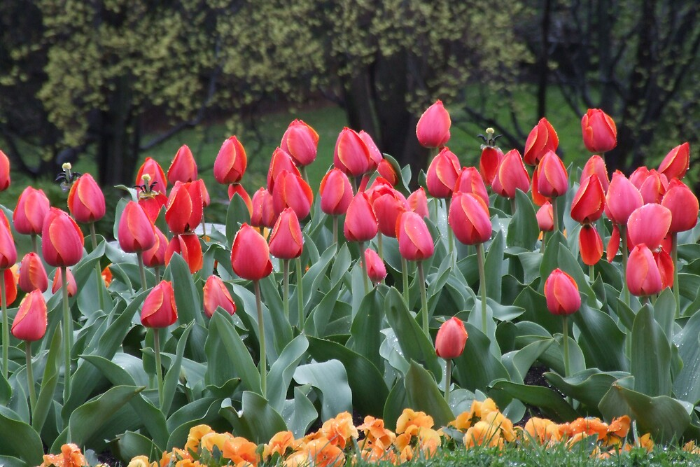 Tulips in the gardens by Fiona Smith