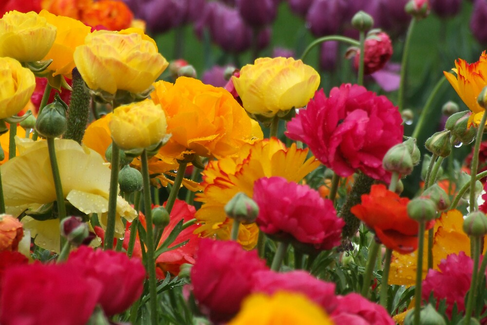 bright ranunculus by Fiona Smith