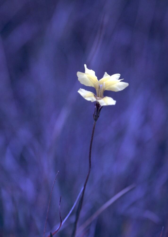 Goodenia  by Fiona Smith