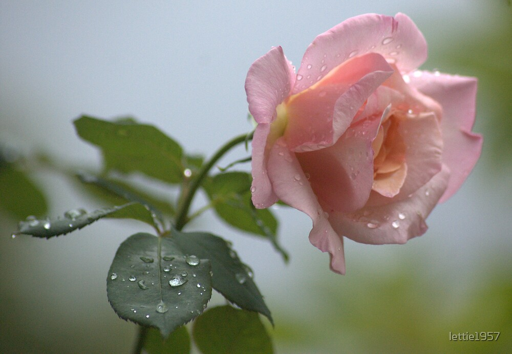 Favourite rose   by lettie1957