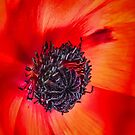 The Poppy by jules572