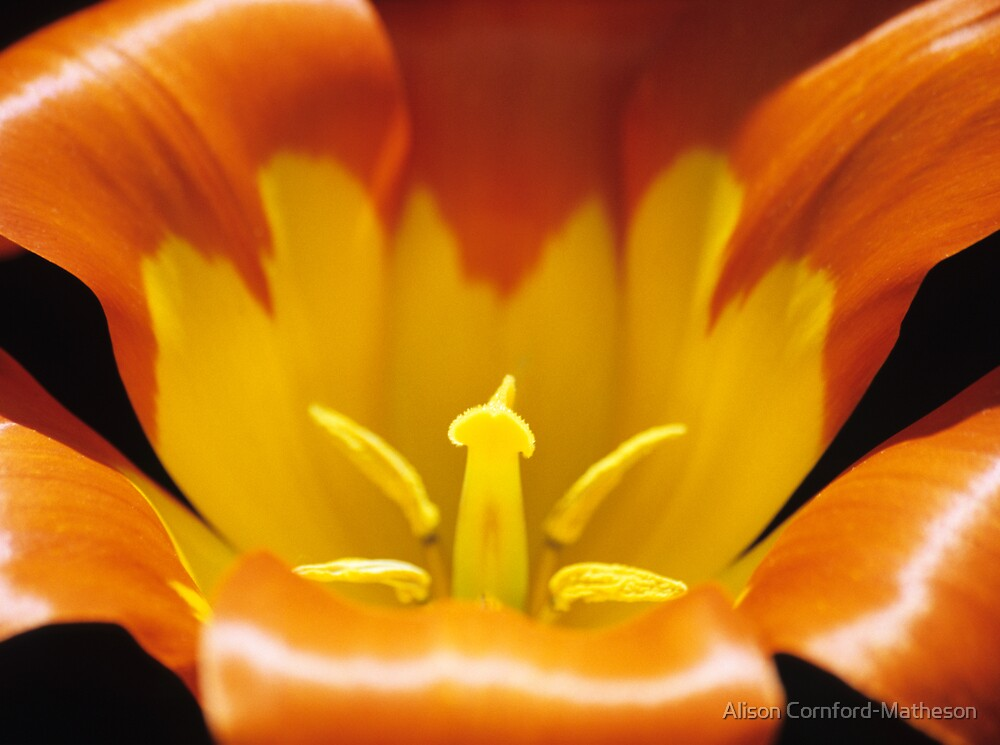 Yellow and Orange Tulip by Alison Cornford-Matheson