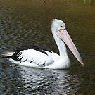 Pelican by David Thompson